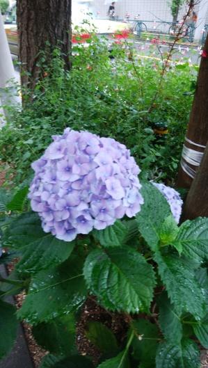 アジサイ青紫.jpg